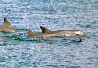Dolphins in the river